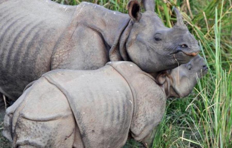 International International «Diplomatie du rhino»: Le Népal a offert deux rhinocéros à la Chine pour renforcer leurs relations
